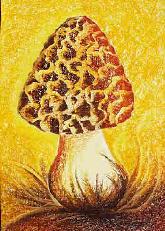 Speisemorchel - Morchella esculenta