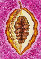 Kakaufrucht - Kakaosamen - Kakaobohnen - Kakao - Theobroma cacao