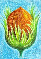Haselnuss - Corylus avellana