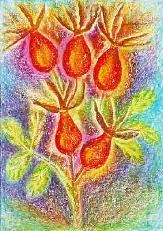 Hagebutten - Fructus rosae