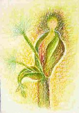 Engelwurz - Angelica archangelica