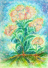 Schafgarbe - Achilea millefolium