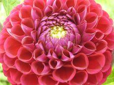 Ball-Dahlie - Dahlia x hortensis
