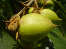 Blauglockenbaumfrucht - Paulownia tomentosa