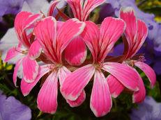 Hängegeranie - Pelargonium peltatum