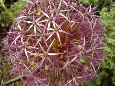 Sternkugel-Lauch - Allium cristophii
