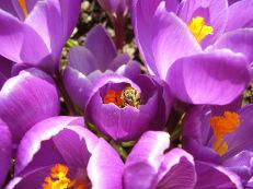 Frühlings-Krokus - Crocus vernus