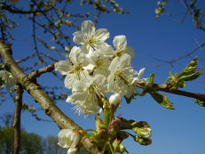 Kirschblüte - Prunus avium