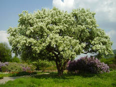 Chinesischer Teeapfelbaum - Malus hupehensis