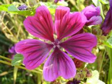 Wilde Malve - Malva sylvestris ssp. mauritiana