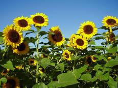 Sonnenblumen - Helianthus annuus