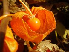 Lampionblume - Physalis alkekengi
