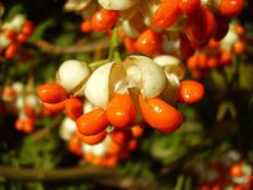 Japanischer Spindelstrauch - Euonymus japonicus
