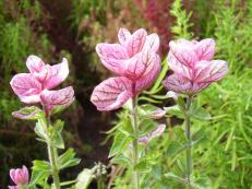 Buntschopf-Salbei - Salvia viridis