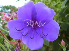 Blüte von Tibouchina urvilleana