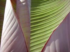 Bananenblatt - Musa species