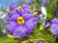 Enzianstrauch - Solanum rantonnetii