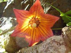 Kanaren-Glockenblume - Canarina canariensis