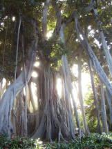 Würgefeige - Ficus macrophylla ssp. columnalis