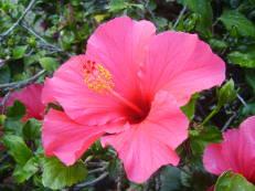 Chinesischer Roseneibisch - Hibiscus rosa-sinensis