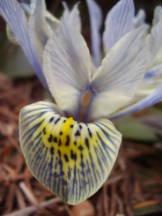 Zwerg-Iris - Iris histrioides 'Katharine Hodgkin'