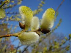 Weidenkätzchen - Salix species