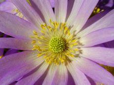 Strahlenanemone - Anemone blanda 'Violet Star'