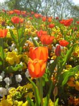 Tulpen im Mittagslicht I