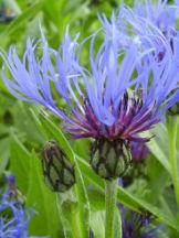 Berg-Flockenblume - Centaurea montana