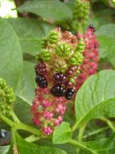 Asiatische Kermesbeere - Phytolacca esculenta