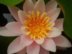 Seerose - Nymphaea species