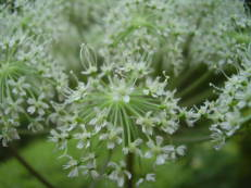 Wald-Engelwurz - Angelica sylvestris