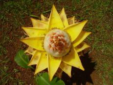 Golden-Lotus-Banane - Musella lasiocarpa