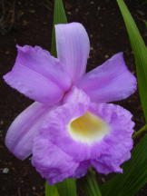 Vorschau: P5080696_Cattleya-Orchidee__Cattleya_species_g