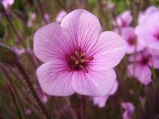 Madeira-Storchenschnabel - Geranium maderense