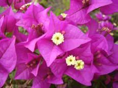 Kahle Drillingsblume - Bougainvillea glabra