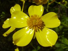 Azoren-Hahnenfuß (Butterblume) - Ranunculus cortusifolius