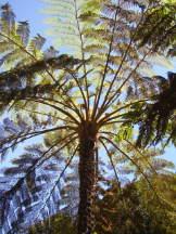 Baumfarn - Cyathea species