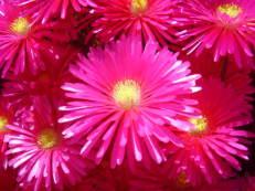 Mittagsblume - Lampranthus multiradiatus