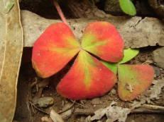 Purpur-Sauerklee - Oxalis purpurea