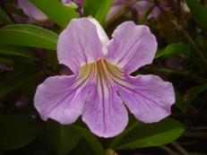 Argentinischer Schönmund (Violetter Trompetenwein) - Clytostoma callistegioides