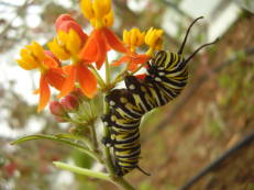 Monarchfalter-Raupe auf Indianer-Seidenpflanze