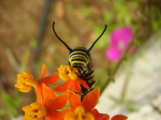 Monarchfalter-Raupe - Danaus plexippus