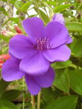 Prinzessinnenblume - Tibouchina urvilleana