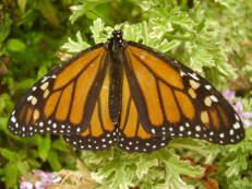 Monarchfalter - Danaus plexippus