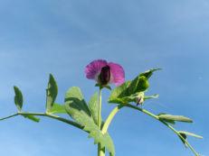 Erbsenblüte - Pisum sativum