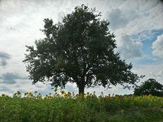 Apfelbaum im Kraichgau