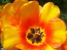Tulpe - Tulipa species