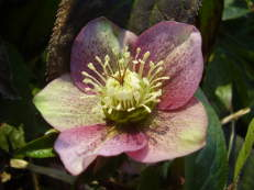 Lenzrose - Helleborus orientalis