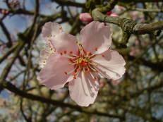 Mandelblüte - Prunus dulcis